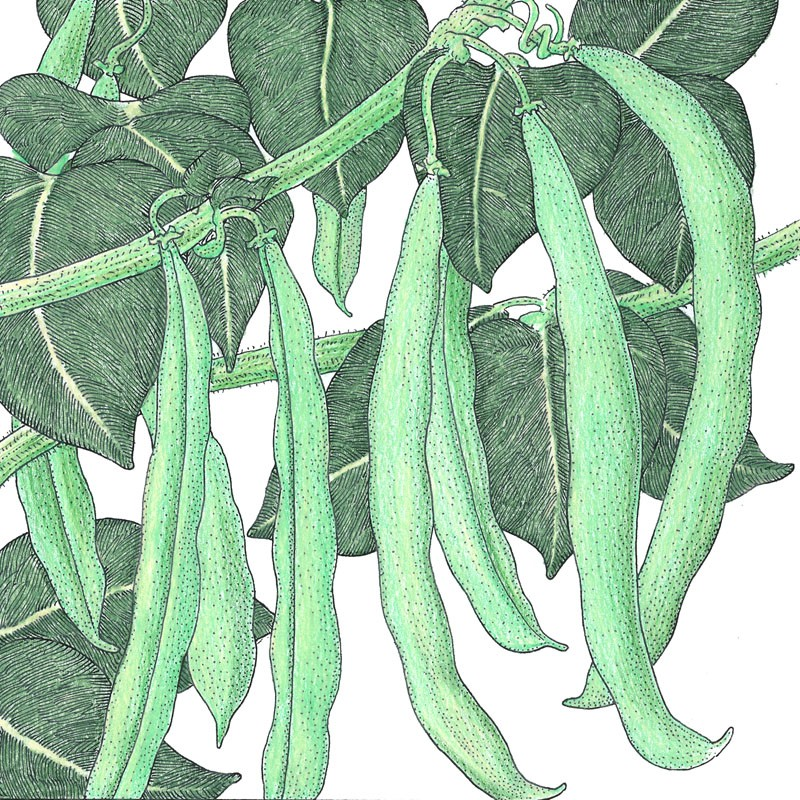 Organic-Heirloom-Bean-Bush-Blue-Lake
