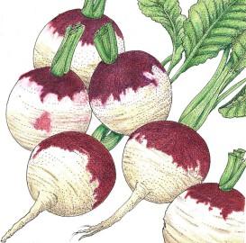 Organic Heirloom Turnip Purple Top
