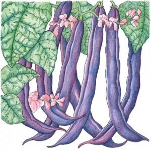 Heirloom-Bean-Bush-Royalty-Purple-Pod1.jpg