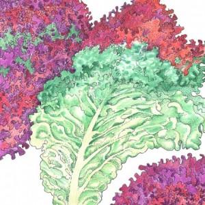 Heirloom-Lettuce-Lolla-Rossa1.jpg