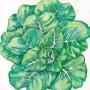Heirloom-Lettuce-Tom-Thumb1.jpg
