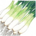 Heirloom-Onion-Tokyo-White-Bunching.jpg