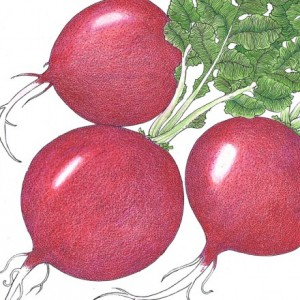 Heirloom-Radish-German-Giant.jpg