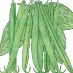 Organic-Heirloom-Bean-Bush-French-Garden.jpg