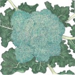 Organic-Heirloom-Broccoli-Calabrese.jpg