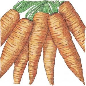 Organic-Heirloom-Carrot-Danvers-Half-Long.jpg