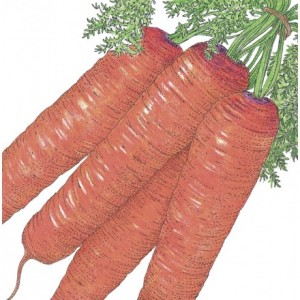 Organic-Heirloom-Carrot-Scarlet-Nantes.jpg