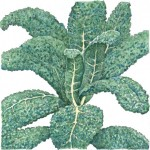 Organic-Heirloom-Kale-Lacinato.jpg