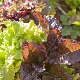 Organic-Heirloom-Lettuce-Gourmet-Mix-2