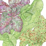 Organic-Heirloom-Lettuce-Tricolored-Romaine-Mix.jpg