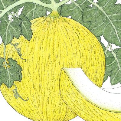 Casaba Sungold Melon
