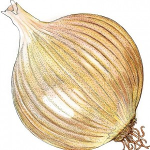 Organic-Heirloom-Onion-Yellow-of-Parma2.jpg