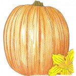 Organic-Heirloom-Pumpkin-Connecticut-Field.jpg