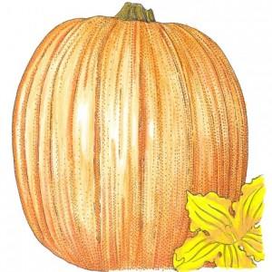 Organic-Heirloom-Pumpkin-Connecticut-Field.jpg