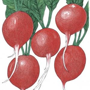 Organic-Heirloom-Radish-Cherry-Belle.jpg