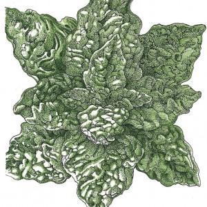 Organic-Heirloom-Spinach-Bloomsdale.jpg