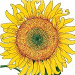 Organic-Heirloom-Sunflower-Russian-Mammoth.jpg