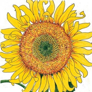 Organic-Heirloom-Sunflower-Russian-Mammoth.jpg