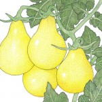 Organic-Heirloom-Tomato-Yellow-Pear.jpg