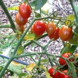 Jujube cherry or grape tomato