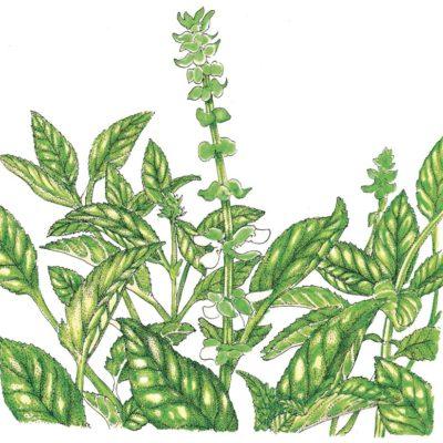 Organic-Heirloom-Basil-Sweet