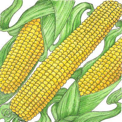 Organic-Heirloom-Corn-True-Gold