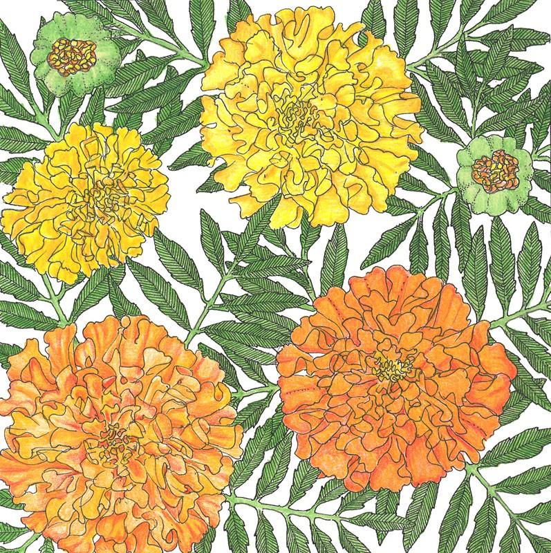 African Marigold