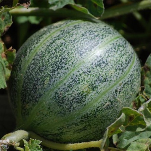 Ananas D'Amerique A Chair Verte melon