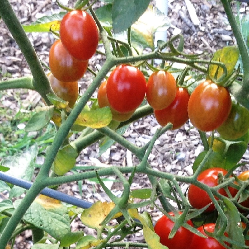Jujube cherry or grape tomato